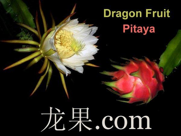 龙果 Dragonfruit Pitaya